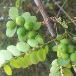 Phyllanthus casticum Fruit