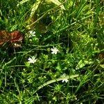 Stellaria crassifolia