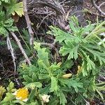 Argyranthemum coronopifolium