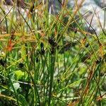 Juncus trifidus