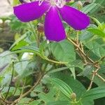 Melastoma polyanthum