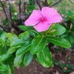 Catharanthus roseus Levél