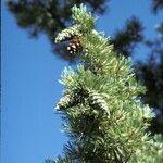 Pinus flexilis
