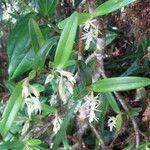 Epidendrum paraguastigma