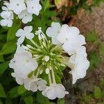 Phlox paniculata Flower