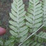 Dryopteris carthusiana Foglia