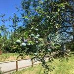Prunus x fruticans