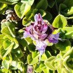 Plectranthus amboinicus 葉