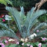 Encephalartos lehmannii Leaf