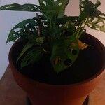Monstera obliqua Leaf
