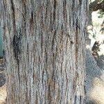 Eucalyptus pilularis
