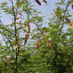 Acacia erythrocalyx