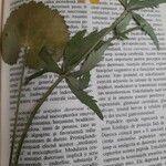 Ranunculus cassubicus
