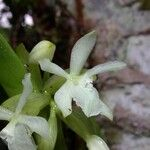 Epidendrum octomerioides