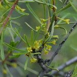 Rhamnus lycioides