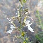 Teucrium pseudochamaepitys
