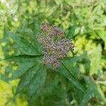 Spiraea japonica Kukka