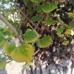 Populus nigra Leaf
