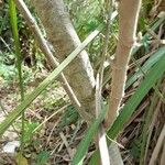Abutilon pauciflorum