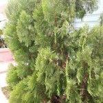 Cupressus sempervirens cv. 'Swane's Gold'