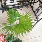 Livistona chinensis 葉