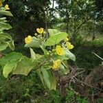 Stigmaphyllon patricianum-firmenichianum