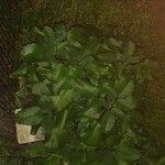 Kalanchoe pinnata Leaf