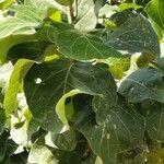 Coccoloba spicata