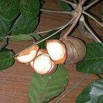 Carapa nicaraguensis