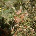 Astragalus armatus
