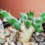 Euphorbia laikipiensis
