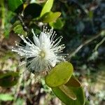 Eugenia buxifolia