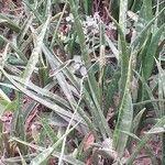 Sansevieria parva Leaf