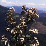Cotoneaster obtusisepalus