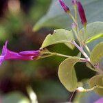 Jacquemontia solanifolia