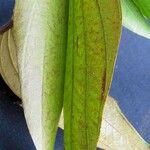 Bauhinia ungulata