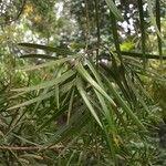 Afrocarpus