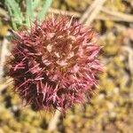 Coris monspeliensis