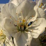 Prunus x gondouinii