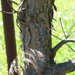 Quercus boyntonii