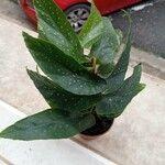 Begonia × albopicta