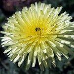 Urospermum dalechampii Flower