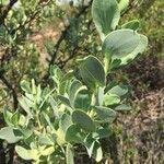Lopholaena coriifolia