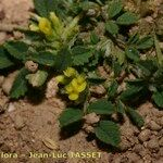 Medicago monspeliaca