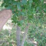 Acer monspessulanum Feuille