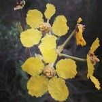 Stigmaphyllon lindenianum