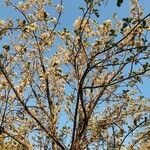 Dombeya rotundifolia Kukka