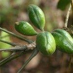 Acropogon schumannianus