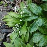 Allium ursinum Habit