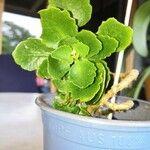 Kalanchoe blossfeldiana Leaf